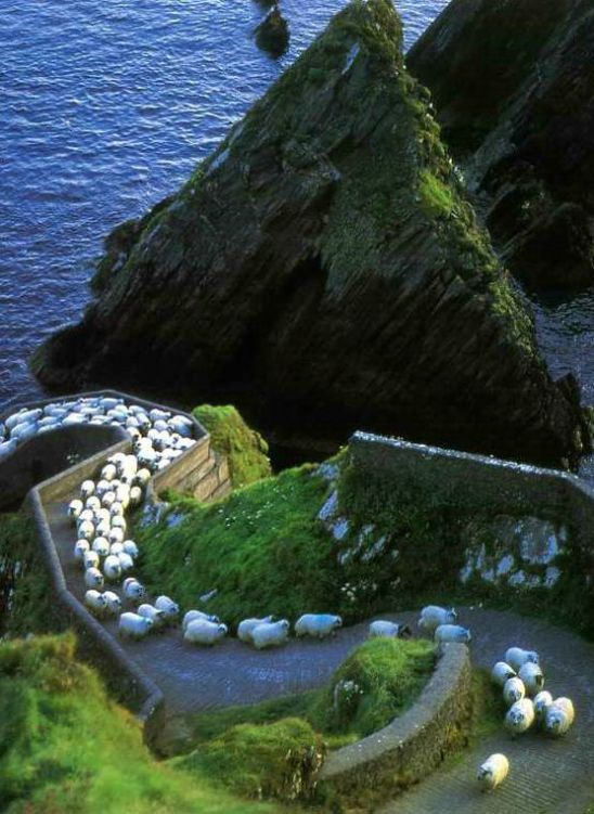 Sheep on a path.jpeg
