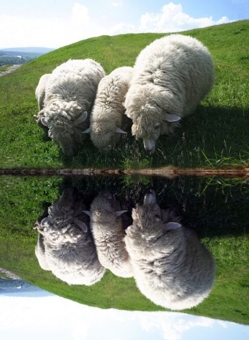 Sheep thirsty